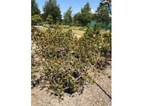 Multiple Evergreen Trees in Pots for sale - various heights from 3 to 8ft