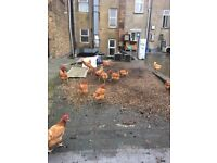 50 Healthy Brown Layer Chickens. For sale