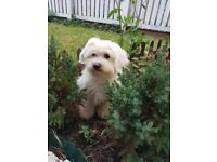 White cute girl maltese 14 week old kc with full vaccinated ,microchiped etc