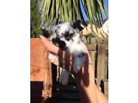 Mini lop baby bunnies