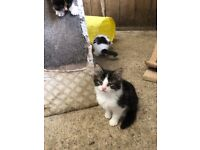 Kittens 9 weeks old ready now