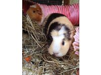 2 healthy female guinea pigs and hutch