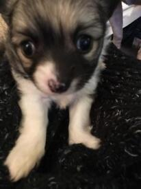 Pure short haired chihuahua