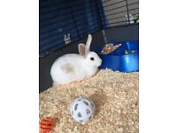 12 week old male rabbit (last of the litter)