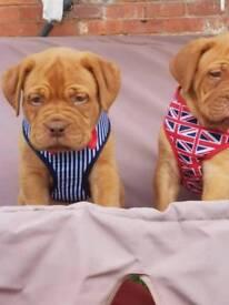 Dogu de bordeaux puppy