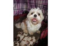 shih tzu puppies 2 girls 4 boys