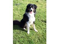 6 this year border collie