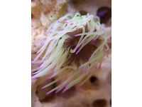 Marine anemones purple tip/ tan anemones
