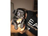 KC Reg Baby teacup Chihuahuas