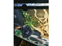 TROPICAL FISH FOR SALE LAKE TANGYNIKA CICHLIDS FRONTOSA..FIFE