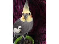 18mth, male Cockatiel