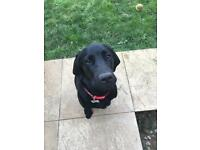 MALE LABRADOR IN NEED OF 5* HOME