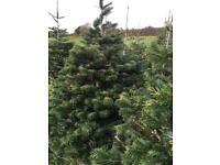 Nordman Christmas Trees £6