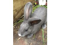 Bunny's for sale