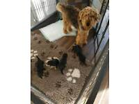 Airedale terrier puppies kc
