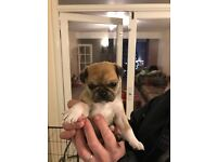 3/4 Pug puppy's for sale