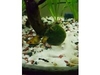 Black molly baby fish