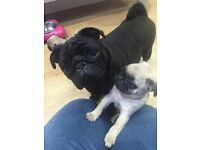 5 gorgeous pug puppies for sale