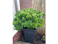 Large Money plants/Jade plants in large black plastic pots 2 £50 each nice condition
