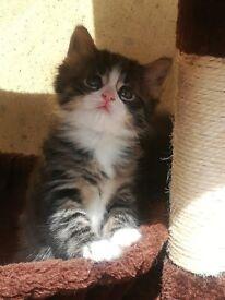 Maine Coon Cross - Kitten for Sale