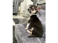 XSMALL KC REGISTERED CHIHUAHUA PUPPIES!!