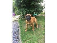 Dog de bordeaux 15 week old