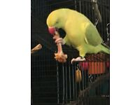 Missing green parrot with yellow tail answers by the name chico any sightings please call