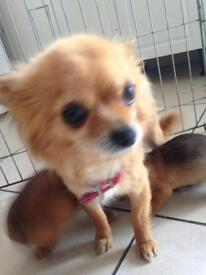 Chihuahua cross miniature jack Russell girls