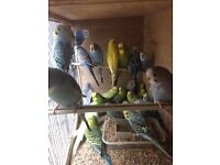 3 new unused cage, Beautiful Best Quality Budgies between 4 months to 1 year old