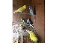 Beautiful Budgies white, yellow, creamino red eye n other colour, 1 new unused cage for extra cost