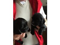 Cocker spaniels pups for sale