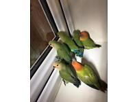 Hand rare baby lovebirds ready for sale semi tame