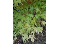 Acer palmatum approx. 8-10ft with beautiful golden leaves