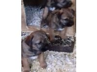 2 male border terrier puppies