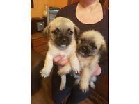 Bichon Frise x Pug Puppies