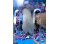 Two adorable female gerbils need new home due to a new puppy