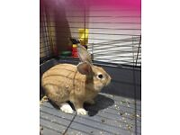 Golden Rabbit for Sale with cage / bedding/food