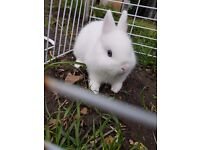 Netherland dwarf rabbit just only 1