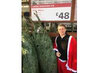 REAL SCANDINAVIAN Christmas trees FREE Delivery 6ft