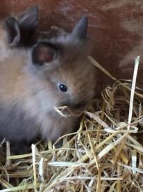 Rabbit pedigree lion head for sale