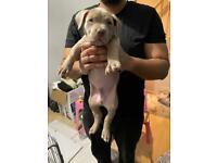 Stunning xl bully pup