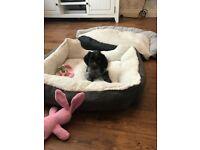 Spaniel X puppy