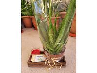 Aloe Vera with free Coconut, Aloe and Vanilla soap - Great Alternative Gifts