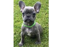 KC French Bulldog Boy Puppys
