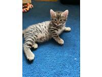 Gorgeous 3/4 Bengal X Kittens