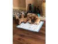 Shar pei pups for sale