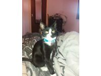 Persian kitten 21 weeks old black and white Persian cross