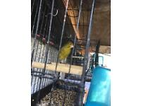 Canary male for sale