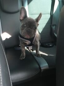 Male frenchie