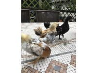 bantam serama hens and rooster for sale
